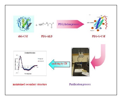 Development of Simple and Fast Method for Preparation and Purification of Monopegylated Recombinant Human Granulocyte Colony-stimulating Factor (rhG-CSF, Filgrastim) with High Efficiency