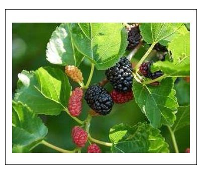 Extraction, Purification and Kinetics of Guaiacol Peroxidase from Leaves and Friuts of Black Blueberry (MORUS NIGRA)