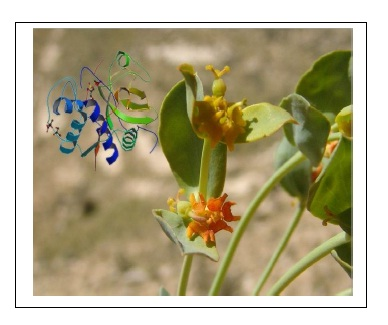 Microsciadin, a New Milk-Clotting Cysteine Protease from an Endemic Species, Euphorbia microsciadia