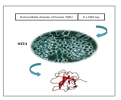 Recombinant Expression of the Non-glycosylated Extracellular Domain of Human Transforming Growth Factorβ Type II Receptor Using the Baculovirus Expression System in Sf21 Insect Cells
